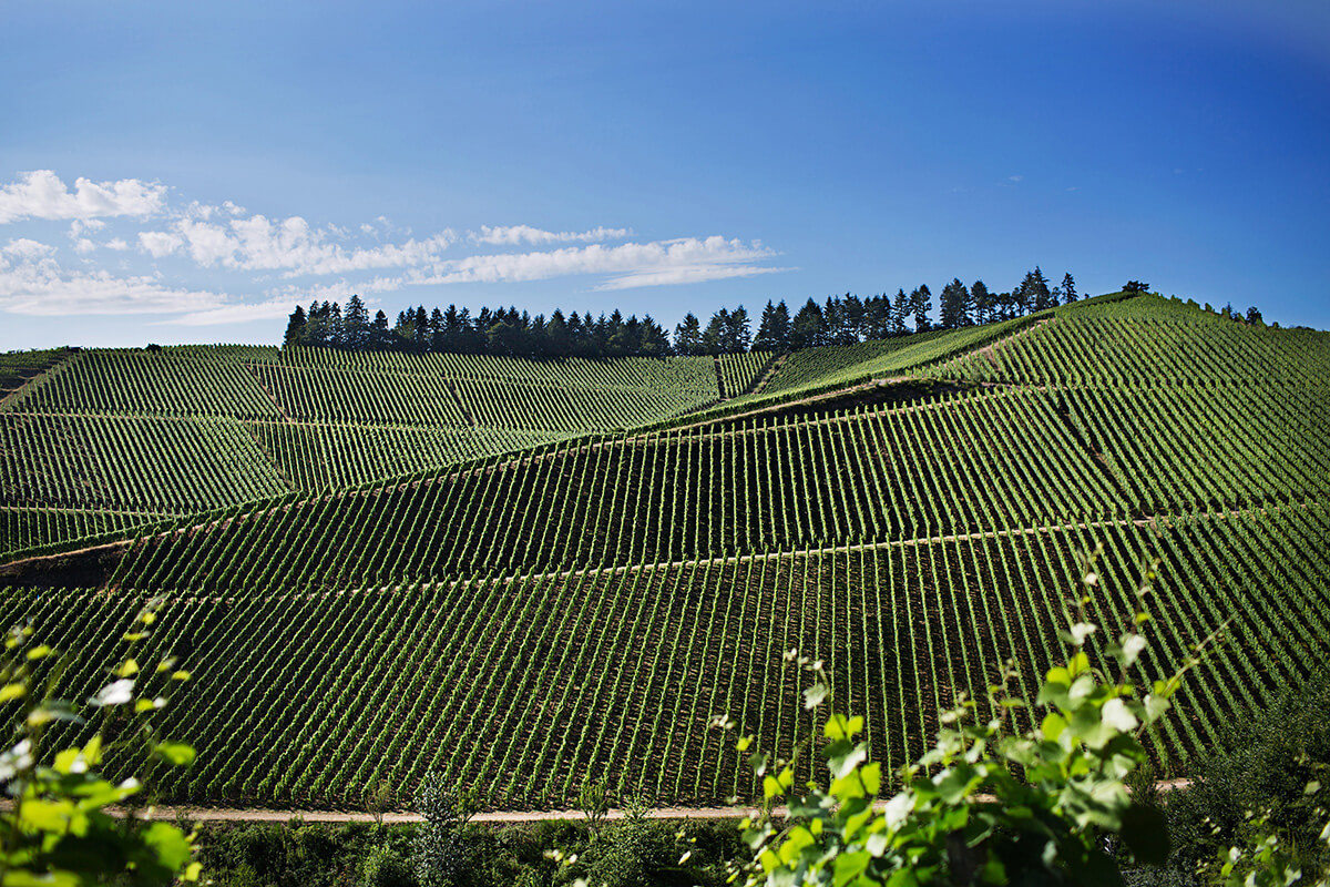 Hillside of vineyards in Germany's Wine Growing Region Baden