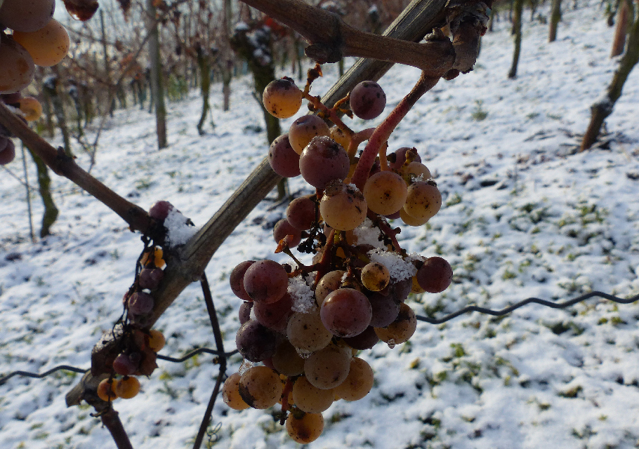 Grapes frozen on a vineyard vine with snow on the ground