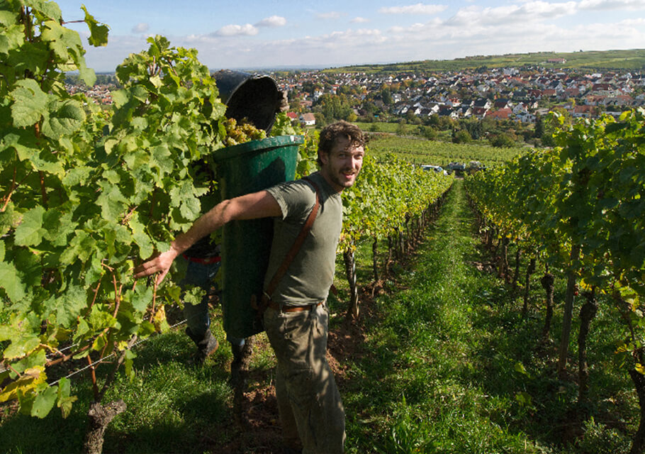 A man harvesting bunches of grapes from a German Vineyard