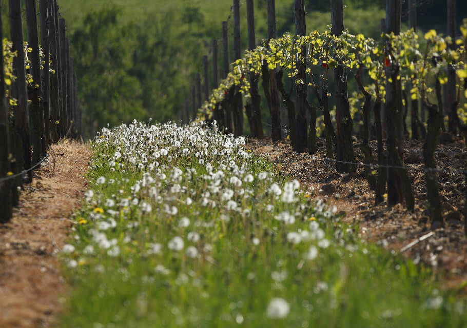 A German Vineyard in the spring with flowers blooming between rows