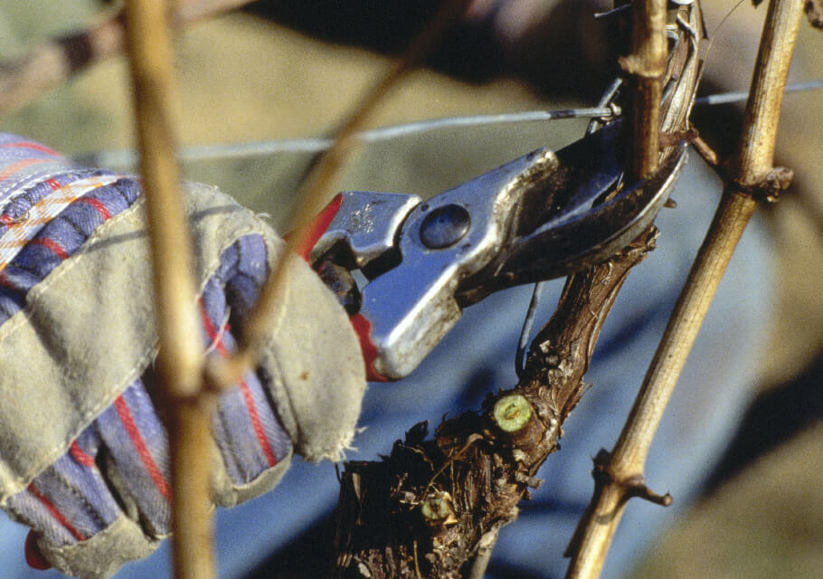 pruning grape vines in Germany's winter months